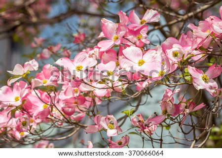 Close up of long branches of pink and white blossoms on tree with obscured background - stock photo