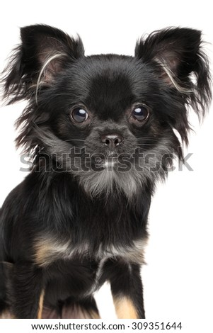 Close-up of Long-Haired Chihuahua dog isolated on white background - stock photo