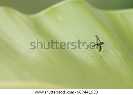 Close up of Long-legged fly .