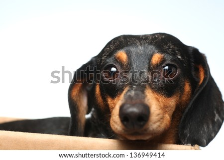 Close Up of Longhair Standard Dachshund