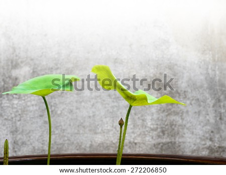 Close up of lotus (bud) and leaves
