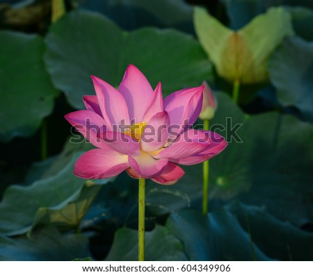 Closeup lotus flower green leaves sunrise stock photo royalty free close up of lotus flower with green leaves at sunrise many deities of asian mightylinksfo