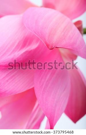 close up of lotus petal - stock photo
