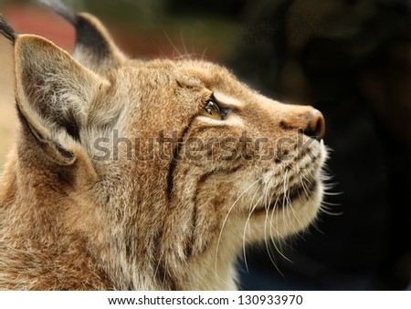 Close up of Lynx - stock photo