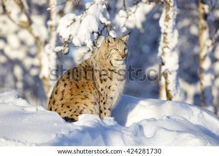 Close-up of lynx cat resting in the winter sun - stock photo