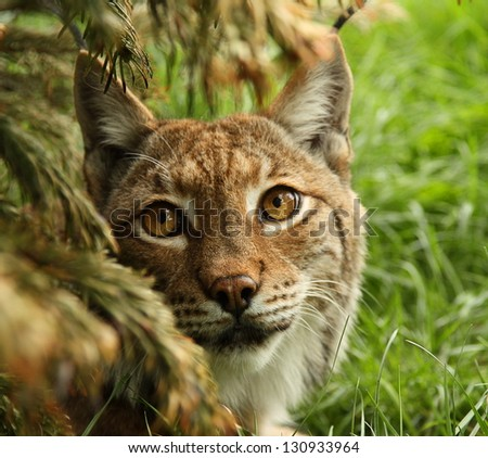 Close up of Lynx in a bush - stock photo