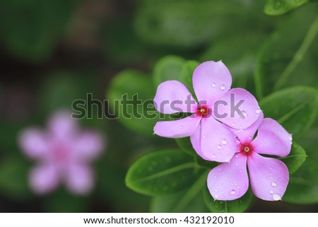 Close Up of Madagascar Periwinkle, Rose Periwinkle, Catharanthus Roseus, Vinca Flower with Raindrops ,Madagascar Periwinkle Blurred Background   - stock photo