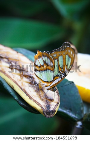 Close-up  of Malachite (Siproeta stelenes) butterfly