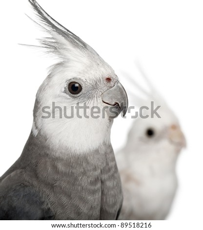 Close-up of Male and female Cockatiel, Nymphicus hollandicus, in front of white background - stock photo
