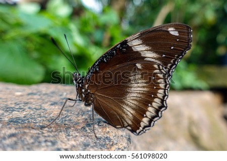 Close up of male Great Eggfly (Hypolimnas bolina) butterfly