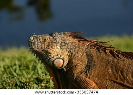 close up of male iguana in florida - stock photo