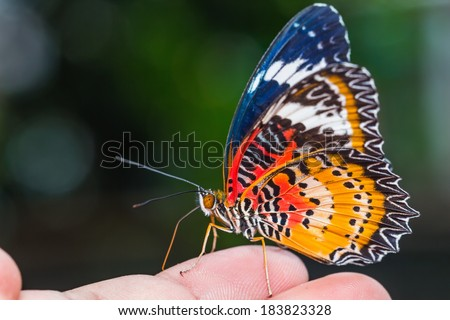 Close up of male leopard lacewing (Cethosia cyane euanthes) butterfly perching on human finger