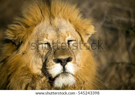 Close up of male lion in sunet