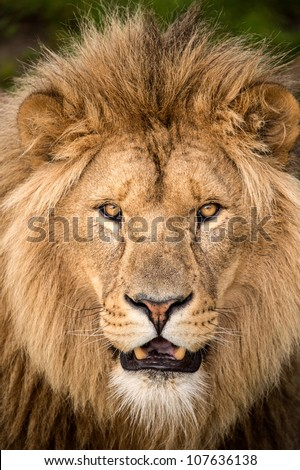 close up of male lions face - stock photo