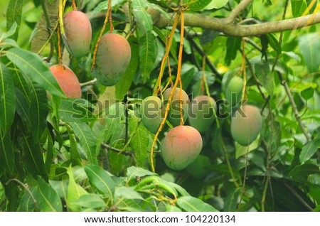 Close up of mangoes on a mango tree - stock photo