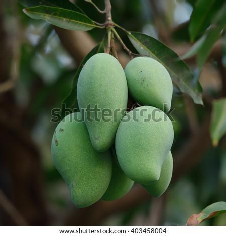 Close up of mangoes on a mango tree in plantation - stock photo