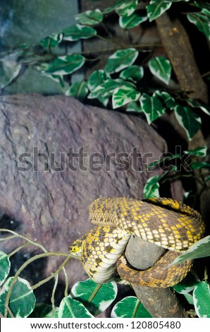 Close up of Mangrove Pit Viper snake, Thailand. - stock photo