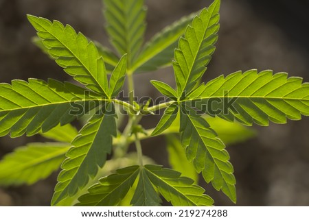close up of marijuana plant - stock photo