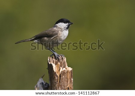 close-up of Marsh Tit bird in France specie Parus palustris