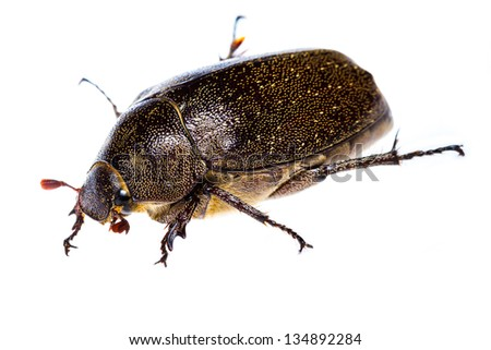 Close up of Maybug Beetle on white background - stock photo