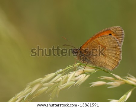 Close up of  Meadow Brown butterfly