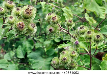 close-up of medical burdock (Arctium lappa) in the vegetable garden