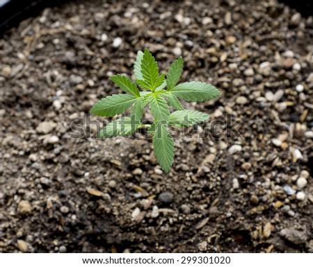 close up of medical marijuana seedling - stock photo