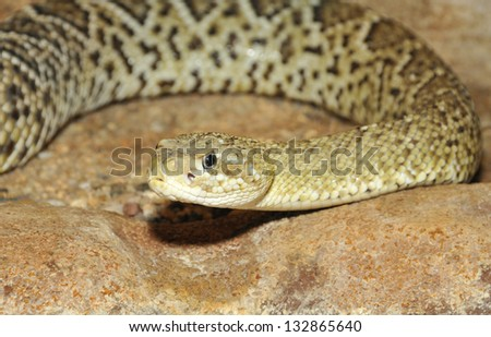 Close-up of Mexican West Coast Rattlesnake (Crotale basilic) - stock photo