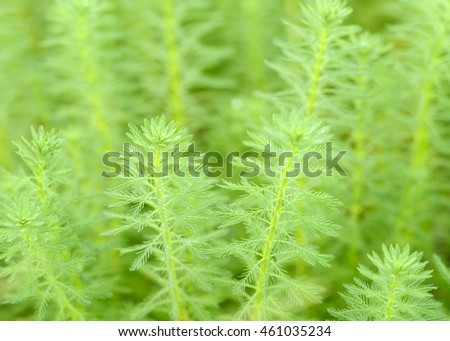 Close up of Milfoil( Myriophyllum  aquaticum)