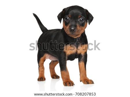 Close-up of Miniature Pinscher puppy on white background