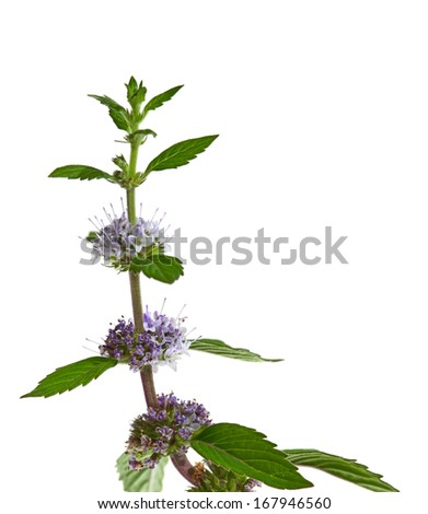 Close up of mint flowers isolated on white background - stock photo