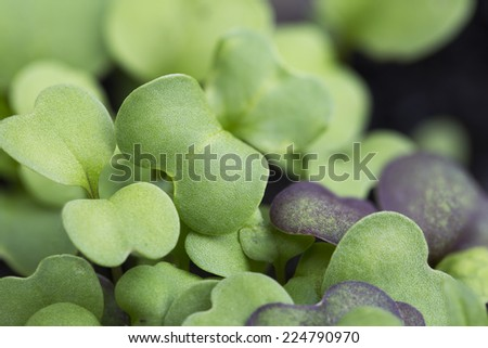 Close up of mixed lettuce sprouts. - stock photo