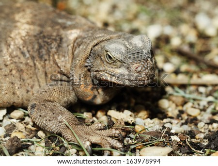 Close up of monitor lizard