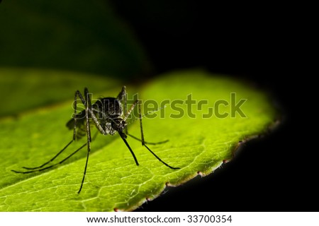 close-up of mosquito sitting on the leaf - stock photo
