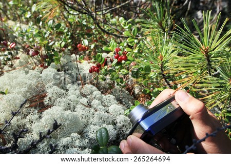close-up of moss and berries a cowberry in the mountains of the Baikal region in summer day - stock photo