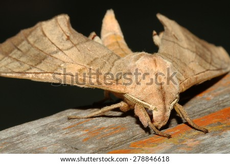 Close up of moth,night butterfly in thailand - stock photo