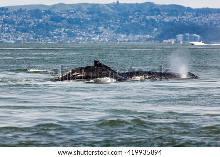 Close-up of Mother Gray Whale blowing, eschrichtius robustus, a critically endangered species, and baby swimming in San Francisco Bay by the Golden Gate bridge, an unusual occurrence