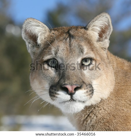 Close up of Mountain Lion - stock photo