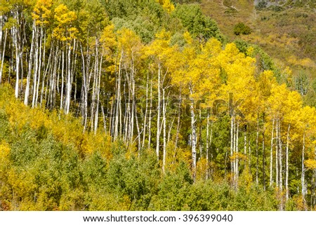 Close up of mountain side filled with fall color of changing yellow Aspen trees sunny autumn morning - stock photo