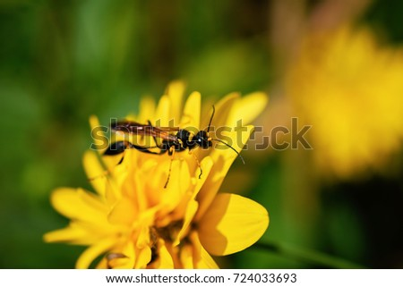 Close-Up Of Mud Dauber Wasp Or Sceliphron Caementarium On Yellow Carnation