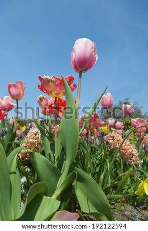 close up of multiple colored tulips - stock photo
