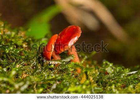 Close-Up of mushroom / A group of mushrooms toadstools , wild forest fungi , Small fungi , Fungi , Red Mushroom , Red Fungi - stock photo