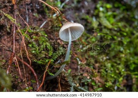 Close-Up of mushroom / single mushrooms toadstools , wild forest fungi , Small fungi , Single Fungi - stock photo