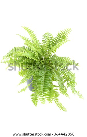 Close-up of Nephrolepis fern in a pot. Isolated on white background