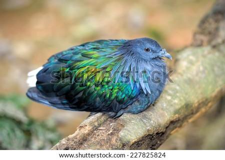 Close up of Nicobar Pigeon, selective focus.  - stock photo