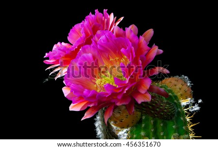 Close up of night blooming flying saucer blooms on a cactus.  A fly flies away from one of the blooms leaving a trail behind him. Scientific name is Trichocereus. - stock photo