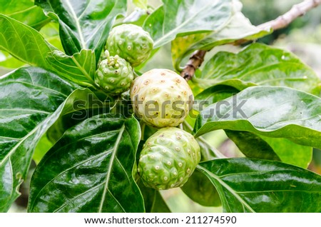 Close up of Noni fruit and leaf - stock photo