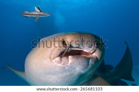 Close up of Nurse shark.