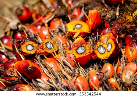 Close up of Oil Palm Fruits - stock photo