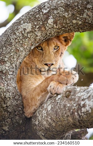 Close up of one lion rests in tree - stock photo